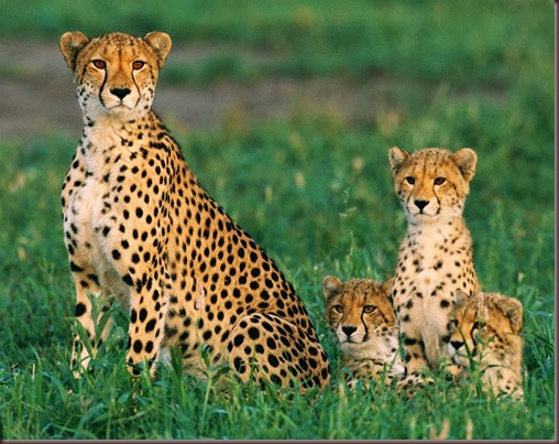 Amazing Animal Pictures Cheetah (9)