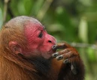 Amazing Pictures of Animals, photo, Nature, exotic, funny, incredibel, Zoo, Cacajao Calvus, Blad Uakari, Primate, Mammals, Alex (10)