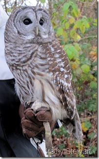 Non-releasable Barred Owl