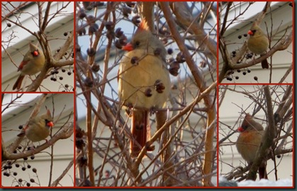 female cardinal collage