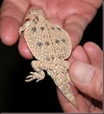 Amazing Pictures of Animals, photo, Nature, exotic, funny, incredibel Zoo, Horned lizard, Phrynosoma, Reptilia, Alex (10)