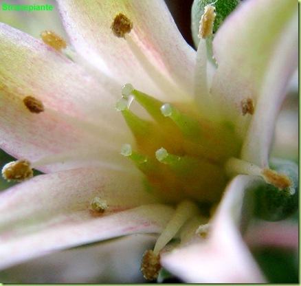 Graptoveria cultivar Silver Star Graptopetalum filiferum X E. agavoides