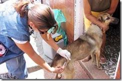 En 2011 la Dirección de Zoonosis realizó más de 1700 esterilizaciones quirúrgicas a caninos