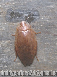 Blattella asahinai_the Asian cockroach
