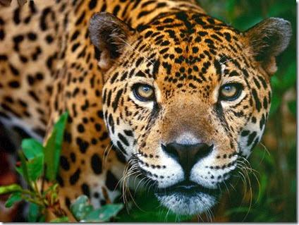 foto de jaguar