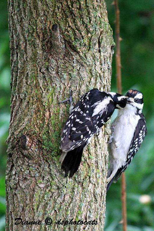 IMG_3665_1 Woodpeckers