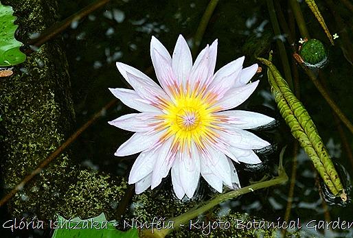 Glória Ishizaka - Ninféia -  Kyoto Botanical Garden 2012 - 7
