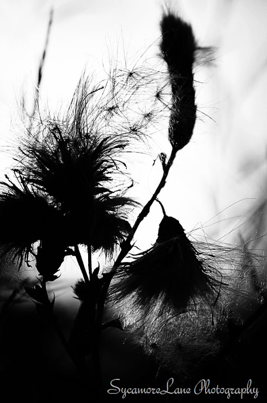 thistle-1-blk and wht