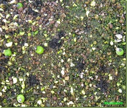 Ariocarpus furfuraceus Matehuala - SLP-2011-02-13_00017IMG_5895