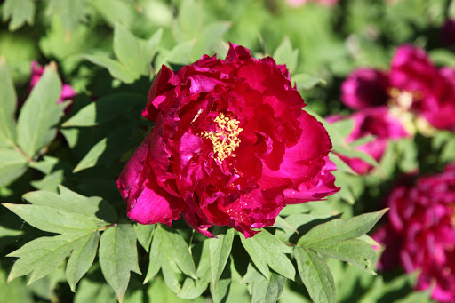 And this magenta colored peony is just stunning!