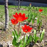 25日から暖い日が続いたせいか、一気にチューリップが咲きました。