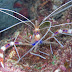 Banded Coral Shrimp - Photo (c) DavidR.808, some rights reserved (CC BY-NC-SA)