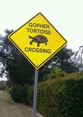gopher turtle crossing on Sanibel