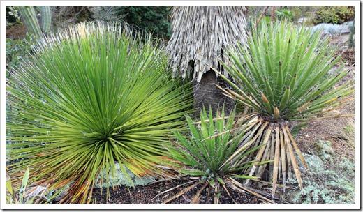 121228_UCBotGarden_Dasylirion-leiophyllum- -Yucca-carnerosana_01