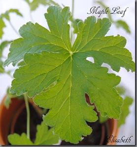 Pelargonium mars 2012 011