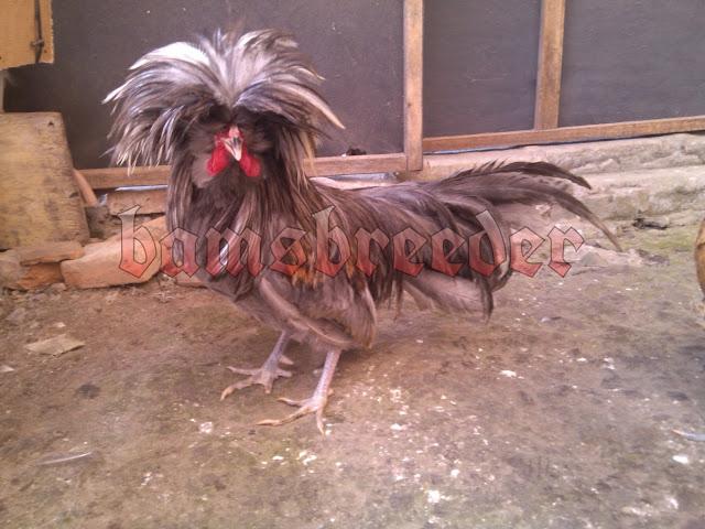 ayam jambul poland mahkota