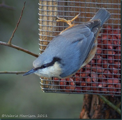 8-nuthatch