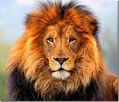 Lion_pict