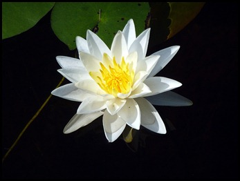 15a - Post #4 to #2 -  Water Lilly