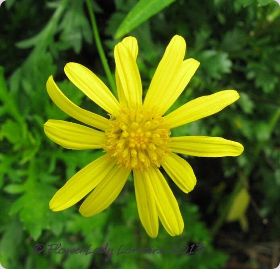 06-04-bush-daisy