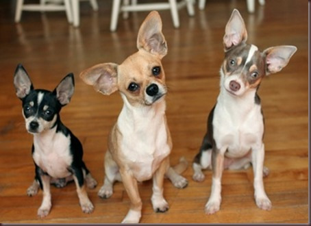 Amazing Animals Pictures Chihuahua (3)