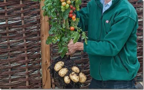 planta de tomates y papas