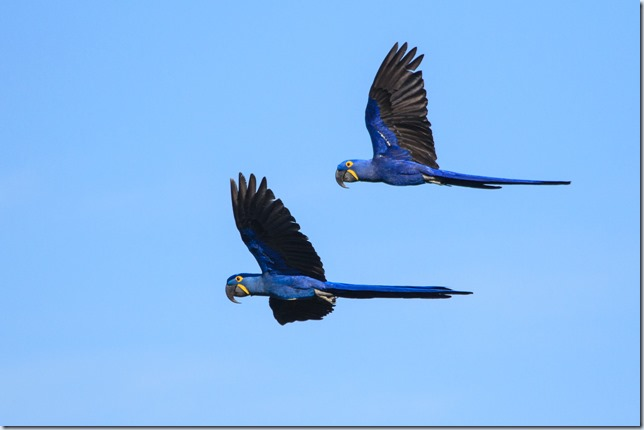 Hyacinth_Macaw_flight-1