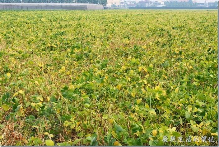 來屏東萬丹,到處都是紅豆田,紅豆應該是萬丹的經濟作物、金雞母,紅豆品質一級棒,來這裡一定要好好品嚐紅豆餅。