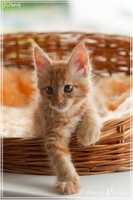 Фото история котят мейн кун в возрасте 7,5 недель 27