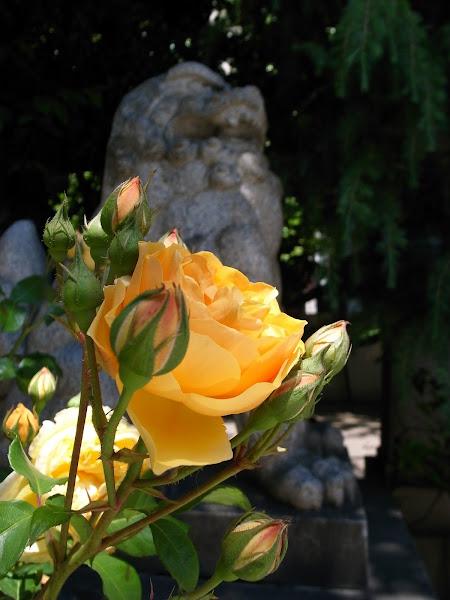 otsuka_rose.jpg