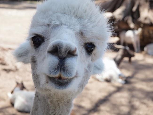 virtù - alpaca