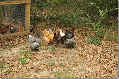 chickens out 0313 (25)