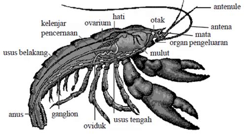 Anatomi tubuh udang