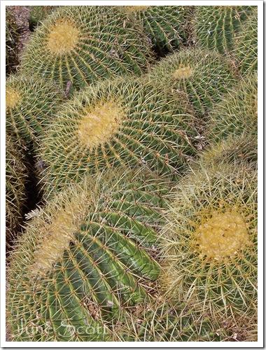 Barrel_Cactus