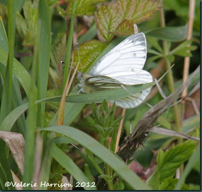 19-green-veined-white
