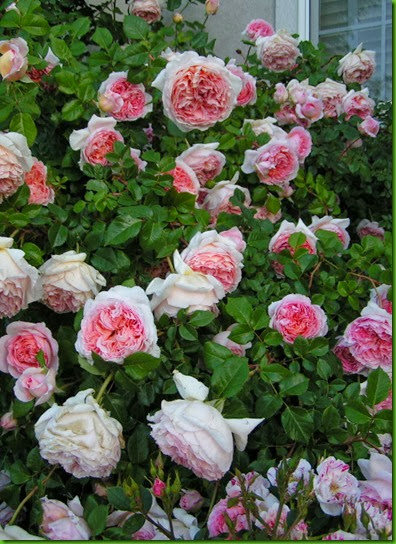 Rosa ABRAHAM DARBY 1