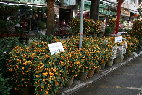 orange trees for sale for chinese new year in hong kong