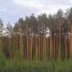 Соснові ліси.JPG