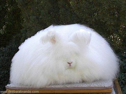 coelho angora peludo desbaratinando (27)