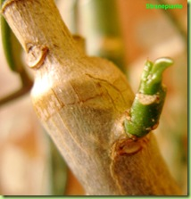 Synadenium germoglio
