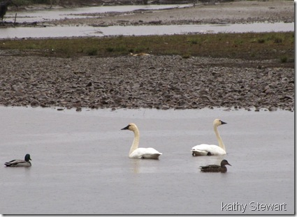Swans in the rain