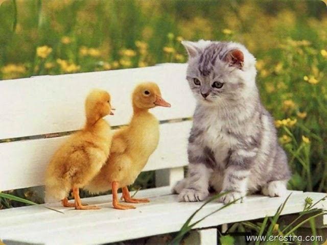 Chicks_and_Kitten_1024