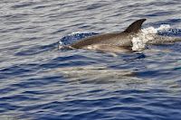 Luca_vanDuren_Mother and baby spotted dolphin.JPG