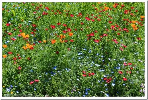 140414_SoDavis_wildflower_meadow_019