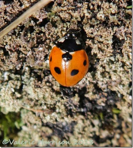 10-7-spot-ladybird