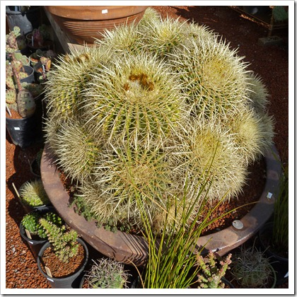 120208_CactusJungle_Echinocactus-grusonii