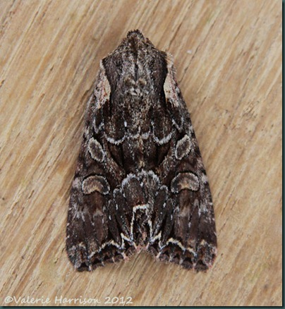 Pale-Shouldered-Brocade (2)