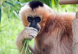 Amazing Pictures of Animals, Photo, Nature, Incredibel, Funny, Zoo, Gibbons, Hylobatidae, Primate, Mammals, Alex (5)