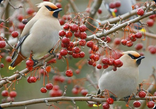 Amazing Beauty of Waxwing Birds11
