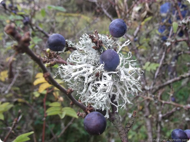 sloes on a blackthorn